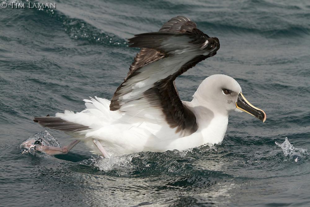 Grey-headed Albatross (Thalassarche chrysostoma)<br />Elsehul, South Georgia