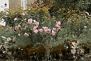 Pink roses bloom in a garden in the town of Montignac in south western France.