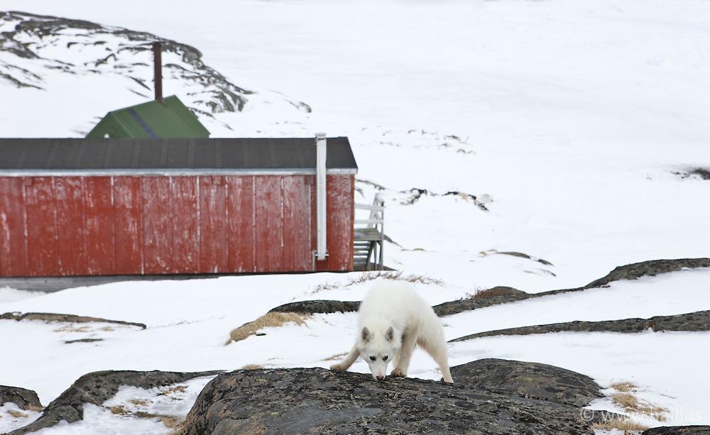 Greenlands sledgedogs and Houses in the village, Kulusuk, Greenland - Hús í Kulusuk á Grænlandi