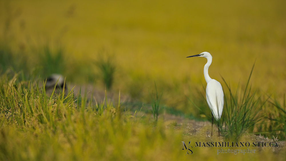 The Little Egret (Egretta garzetta) is a small white heron. It is the Old World counterpart to the very similar New World Snowy Egret.