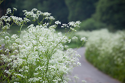 Cow parsley lining a lane near Chalford Hill. Anthriscus sylvestris