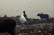 New Delhi, India - <br /> <br /> Garbage Mountain<br /> <br /> Just a few miles from the famous Akshardham temple, where tourists flock to see the structure's sandstone and marble work, the 29-hectare, slum-surrounded Ghazipur landfill in east Delhi seems a world apart. Each day hundreds of mainly migrant workers earn a meager living at the landfill by collecting recyclable material like plastic, metal and even hair to sell. The dump is the last port of call for Delhi's trash, having already been picked through by other waste collectors who collect bags of garbage directly from homes. Delhi is home to three landfills where around 6,000 tons of trash is dumped daily. Studies have shown that living near a landfill increases the risk of cancer, birth defects and asthma.<br /> <br /> Photo shows: Extreme weather conditions, toxic substances, foul stench, stray animals, disease, flies, and discrimination are just a few of the hardships for the rag pickers who live and work on dumpsites.<br /> ©Chinky Shukla/Exclusivepix Media