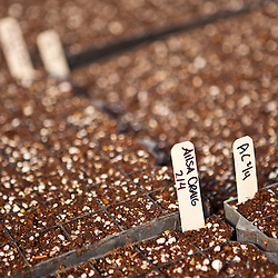 Seed flats planted with onion seeds in a greenhouse in South Hampton, New Hampshire. Heron Pond Farm greenhouse.  February.
