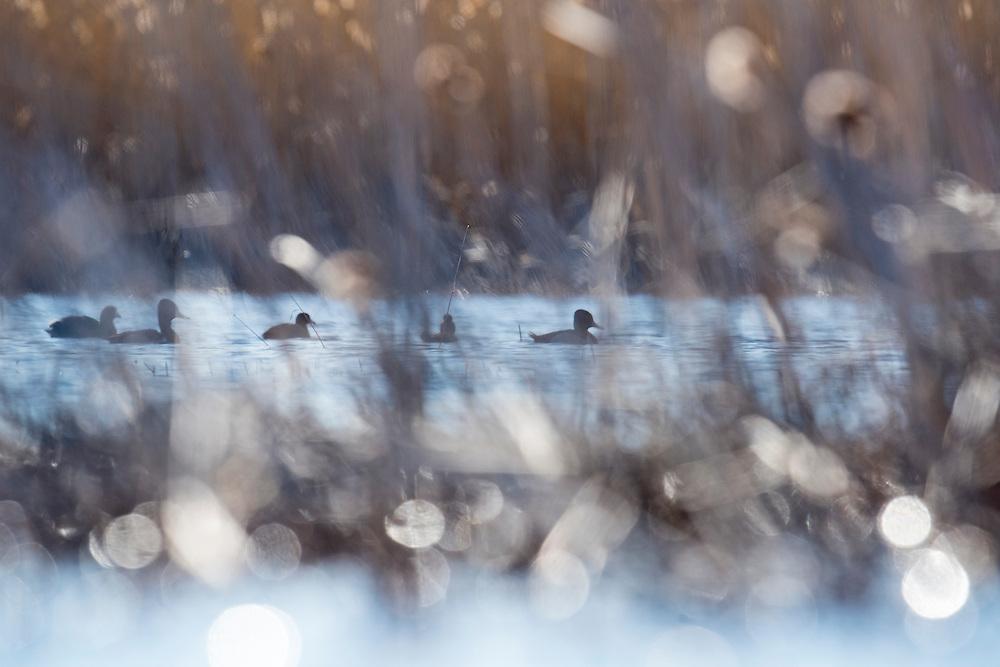 Ring-necked Ducks, Aythya collaris, Saginaw Bay, Michigan
