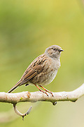 Hedge Sparrow, Southland, New Zealand