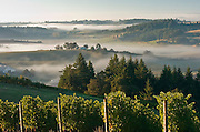 Foggy morning over pinot noir vines in Willamette Valley, from WillaKenzie Estate, Oregon