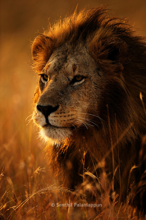 Male Lion at dawn, Masai Mara, Kenya