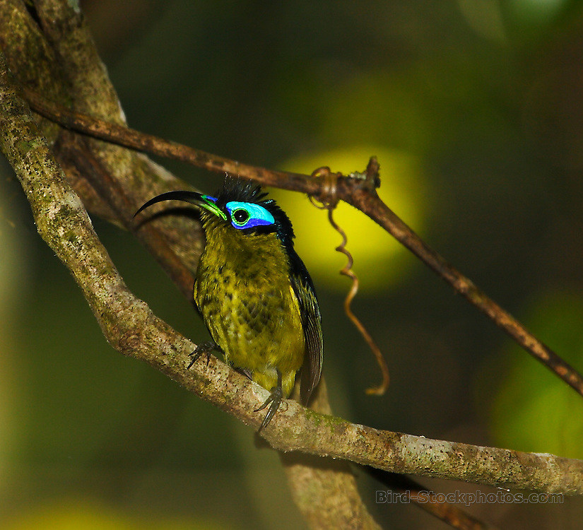 Common Sunbird-Asity, Neodrepanis coruscans, Madagascar, by Adam Riley