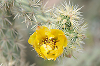 Flowers on Buckhorn Cholla cactus (Cylindropuntia acanthocarpa), Organ Pipe Cactus National Monument Arizona