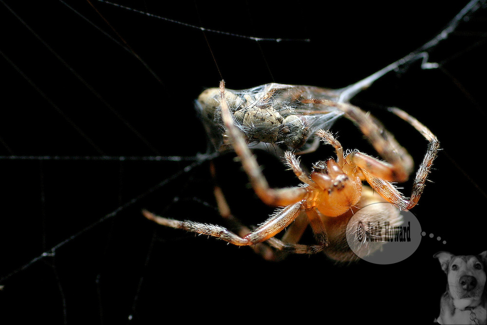 August 2004 - Somerville NJ - An orbweaver spider dines on its captured prey in its web...Jack Howard Photograph