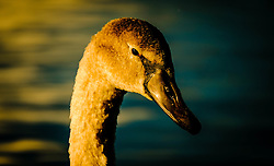 A young cygnet at dusk<br /> <br /> (c) Andrew Wilson | Edinburgh Elite media