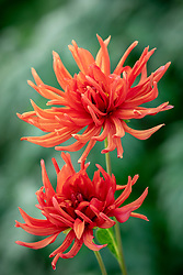 Dahlia 'Autumn Orange'