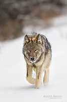 Wolf pup in fresh snow at the beginning of winter