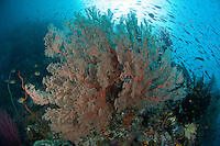 Reef Fishes and Sea Fan