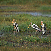 The painted stork (Mycteria leucocephala) is a large wader in the stork family. It is found in the wetlands of the plains of tropical Asia south of the Himalayas in the Indian Subcontinent and extending into Southeast Asia. Their distinctive pink tertial feathers of the adults give them their name.