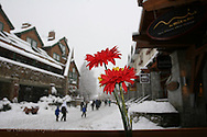Fresh-cut red and yellow peonies on cafe porsh contrast with snowy scene in ski resort village; Whistler, British Columbia, Canada