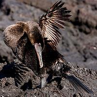 Flightless cormorant, Galapagos Islands, Ecuador
