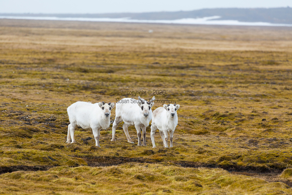 Reindeer grazing on the arctic tundra at Russebukta, Edgeoya, Svalbard, Norway