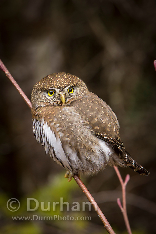 A Northern Pygmy Owl (Glaucidium gnoma) near the Clackamas River in the Mount Hood National Forest, Oregon.