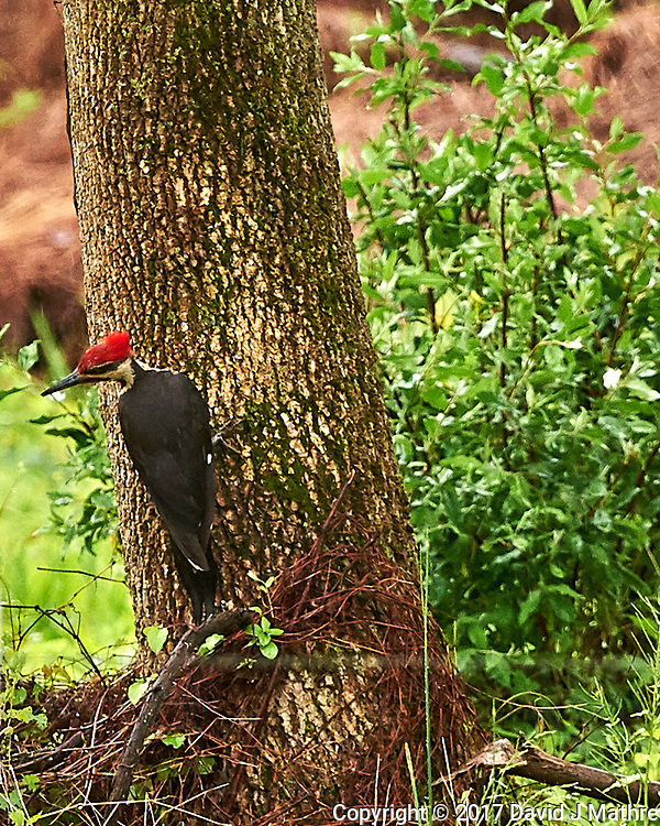 Pileated Woodpecker. Backyard spring nature in New Jersey. Image taken with a Nikon D4 camera and 500 mm f/4 VR lens (ISO 1400, 500 mm, f/5.6, 1/320 sec).