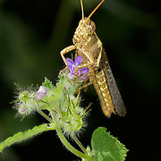 A grasshopper on a flowering plant.