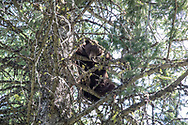 A chocolate phase black bear treed while hunting with hounds in Idaho.