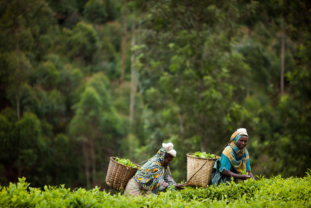 Tea Pickers in the Nyungwe region, Rwanda