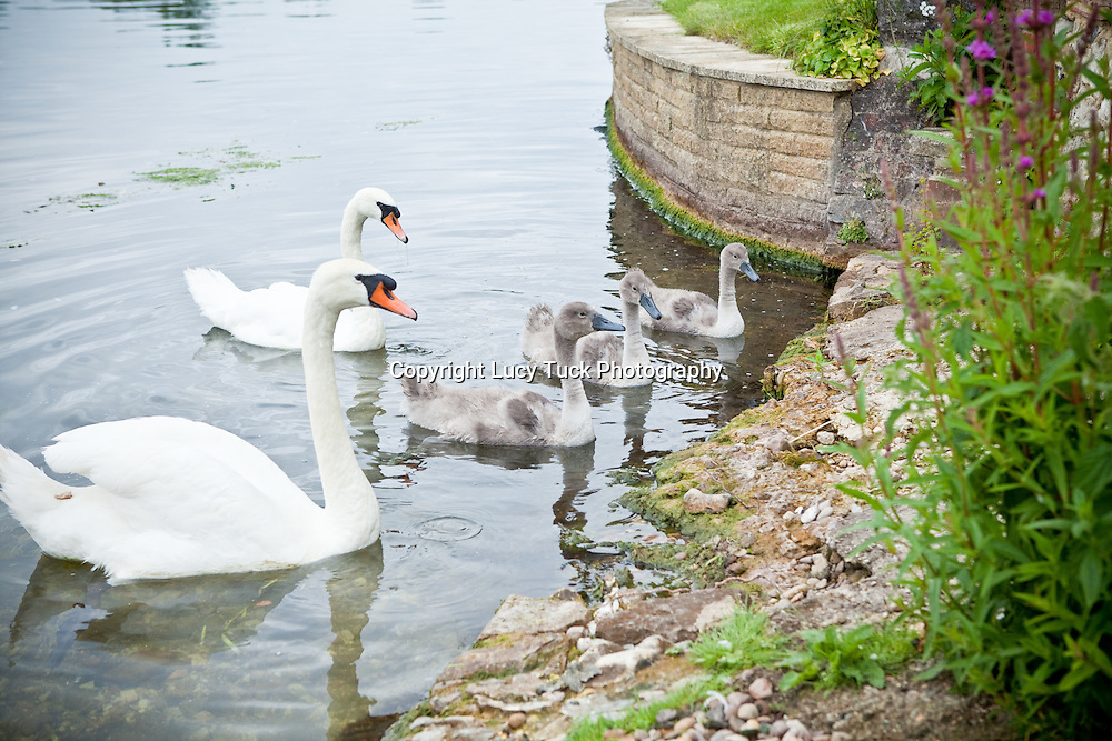 Feeding swans on the river Thames, cygnets on river, swans on river