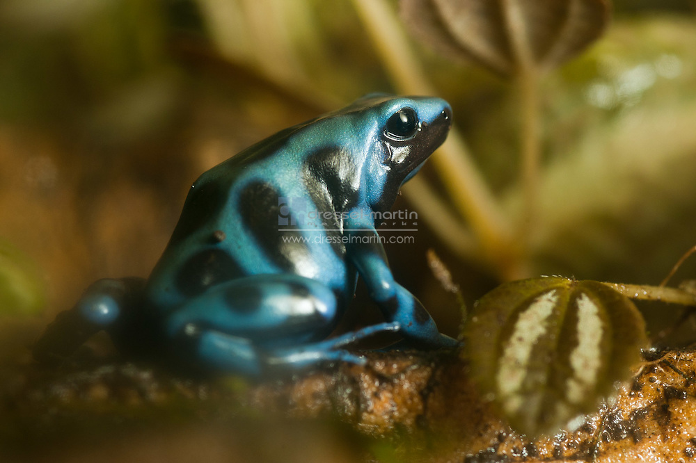Tropical Conservatory, Blue Poison Dart Frog