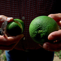 LAKE WALES, FL -- October 13, 2010 -- Citrus grower Marty McKenna holds a normal sized orange at right, next to one infected with yellow dragon disease, left, in one of his orange groves in Lake Wales, Fla., on Wednesday, October 13, 2010.  The housing bust left orange groves - which were scooped up by investors - unattended, overgrown and full with disease.  That disease is spreading to healthy, adjacent fields - leaving citrus growers scrambling to replant lost production.  ..ORANGES