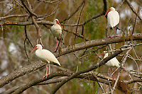 Arthur C Marshall Wildlife Reserve, Loxahatchee, Florida. White Ibis perched in tree    Photo: Peter Llewellyn