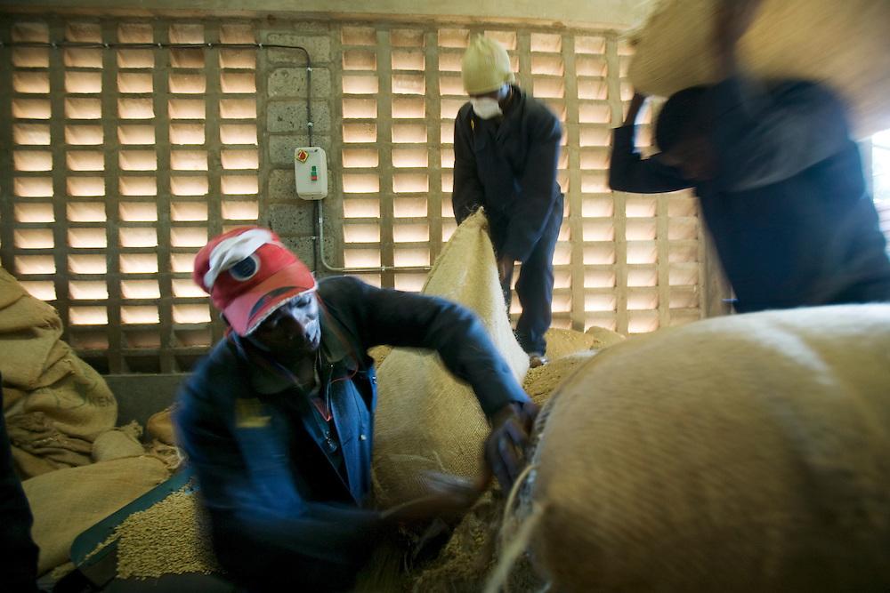Africa, Kenya, Ruira, Workers cutting open burlap bags of  freshly picked Arabica coffee beans inside sorting facility  Socfinaf's Oakland Estates coffee plantation
