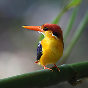 The Oriental dwarf kingfisher (Ceyx erithaca), also known as the black-backed kingfisher or three-toed kingfisher, is a species of bird in the family Alcedinidae
