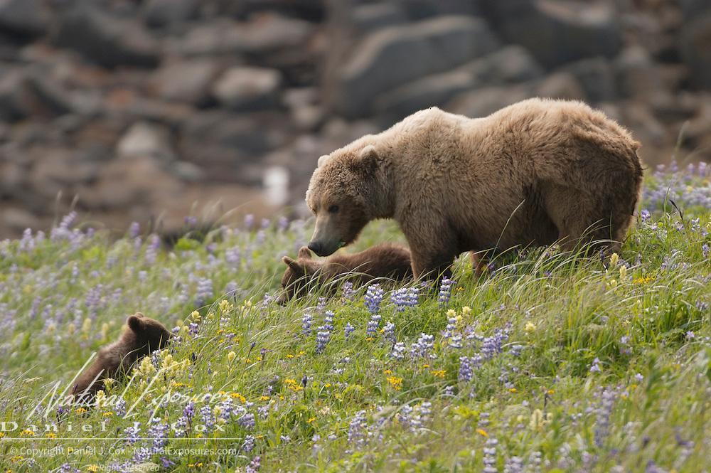 Alaska Brown Bear (Ursus middendorffi) mother and cubs on a grassy hillside. Katmai National Park. Alaska