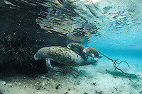 Florida manatee, Trichechus manatus latirostris, a subspecies of the West Indian manatee, endangered. A mother manatee navigates with twin female calves in the warm springs on a cold winter day. Twins are rare and these are not documented but evidence suggests they are twins and not a calf plus an adoptee. They are visiting the submerged tree roots. Rare series. Horizontal orientation, blue water and reflection. Three Sisters Springs, Crystal River National Wildlife Refuge, Kings Bay, Crystal River, Citrus County, Florida USA.