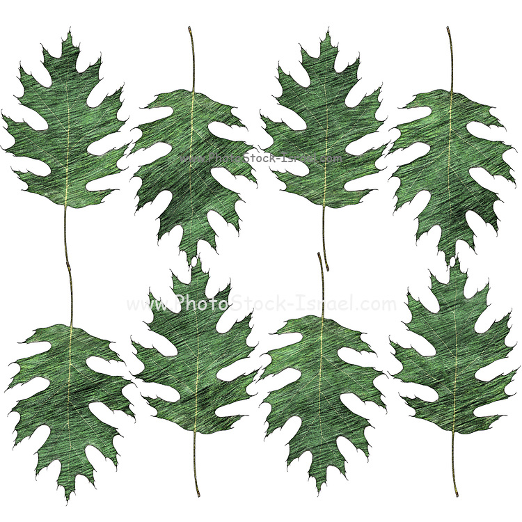 Digitally enhanced image of a multi oak leaf pattern on white background