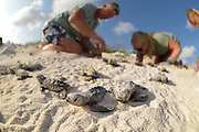 To measure the hatch success (percentage of turtles that hatched from their eggs) each turtle nest is excavated after all hachlinks left naturally to sea. Occasionally some hatchlings are found still alife in the nest. Those turtels are measured and weighed before released to sea. In this case it is a Hawksbill sea turtle's (Eretmochelys imbricata) nest. Jannie Koning (Beach Keeperin), Cosette Larash