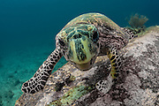 THAILAND. Similan Islands National Marine Park, Phangna Province. November 29th, 2012. The Similan Islands National Marine Park are one of the critically endangered hawksbill sea turtle's remaining protected areas.  A small scientific breeding program is maintained by park officials, although recent surveys suggest numbers are continuing to decline despite local efforts.