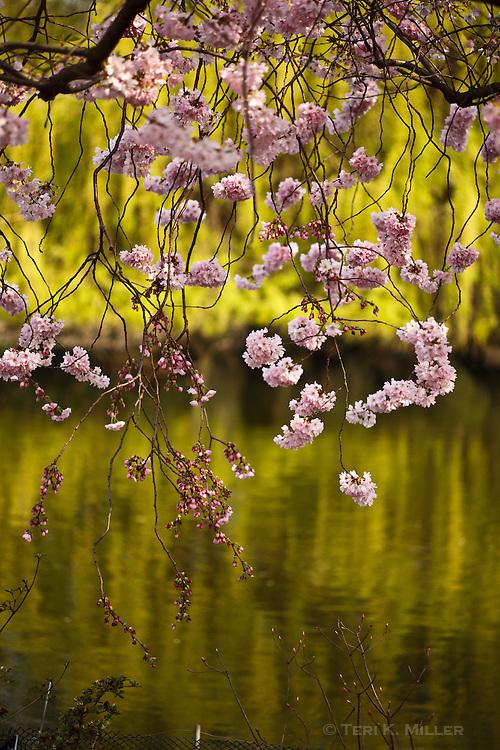 Flowering tree at St. James Park, London, England.