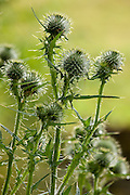 Thistle seed heads in English country garden, UK
