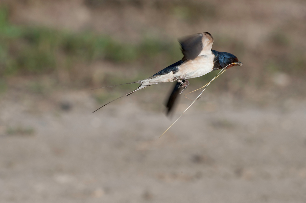 Barn swallow (Hirundo rustica) collecting mud, Codrii forest Reserve, central Moldova