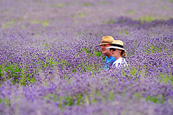 © Licensed to London News Pictures. 19/07/2018. Banstead, UK. A a man and a woman sit in a field of Lavender plants at Mayfield Lavender Farm in Banstead. Photo credit: Grant Falvey/LNP