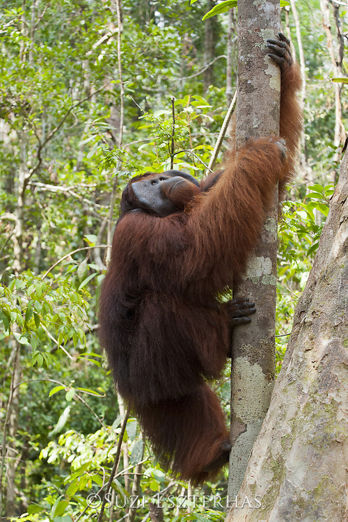Bornean Orangutan <br /> Pongo pygmaeus<br /> Dominant male climbing tree<br /> Tanjung Puting National Park, Indonesia