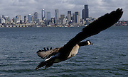 On the wing, a Canada goose does a fly-by along Harbor Avenue Southwest across from the Seattle skyline. (Alan Berner / The Seattle Times)