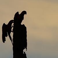 Blue and Gold Macaws (Ara ararauna) perched at sunset near Jardim de Amazonia (Mato Grosso, Brazil)