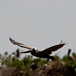 A Brown Pelican is seen flying around at Cat Island off the coast of Louisiana on Thursday, June 17 2010. Oil from the Deepwater Horizon spill continues to impact areas across the coast of gulf states.