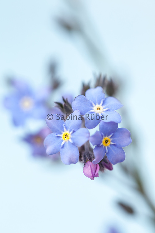 Myosotis alpestris - mountain forget-me-not