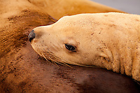 Female Steller Sea Lion rests on the back of another sea lion in St. Herman Harbor, Kodiak Island, Alaska.