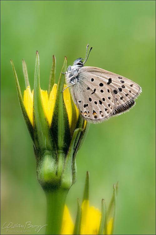 Boisduval's Blue butterfly (Plebejus icarioides) on Goatsbeard