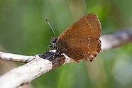Callophrys s. siva - Juniper Hairstreak